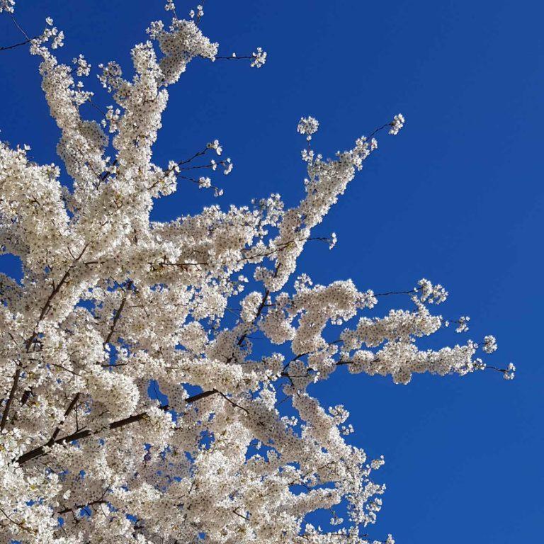 Bäume blühen im Frühling