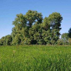 Hohes Gras auf der Rheinaua