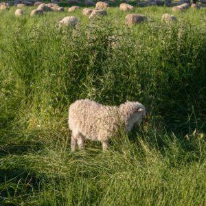 Schafe am Rhein